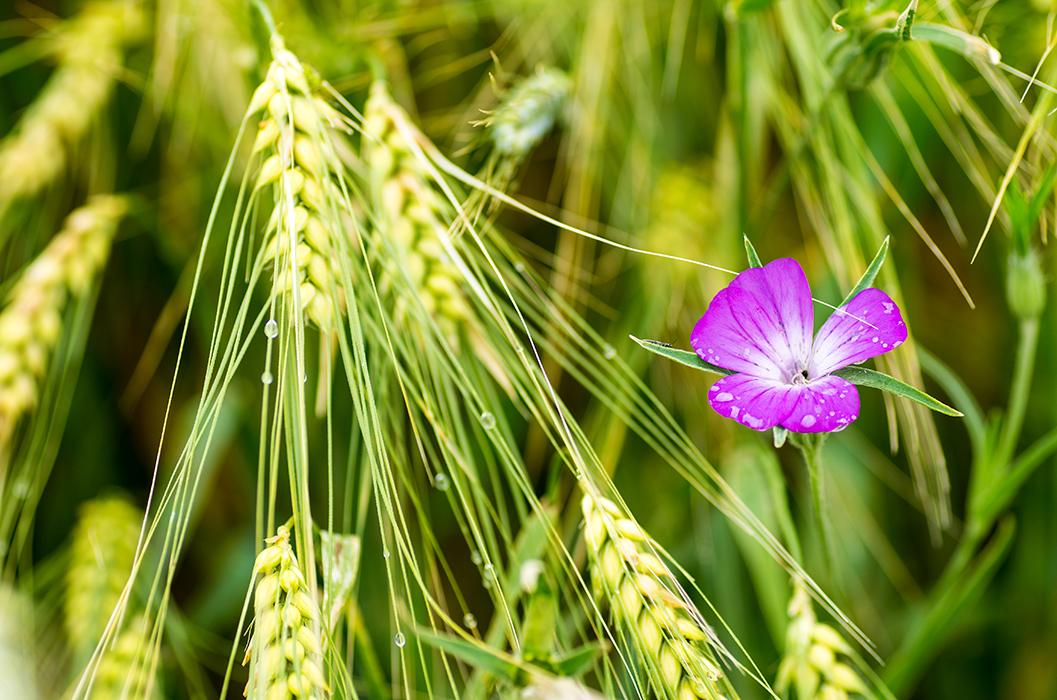 cvijet_u_razi