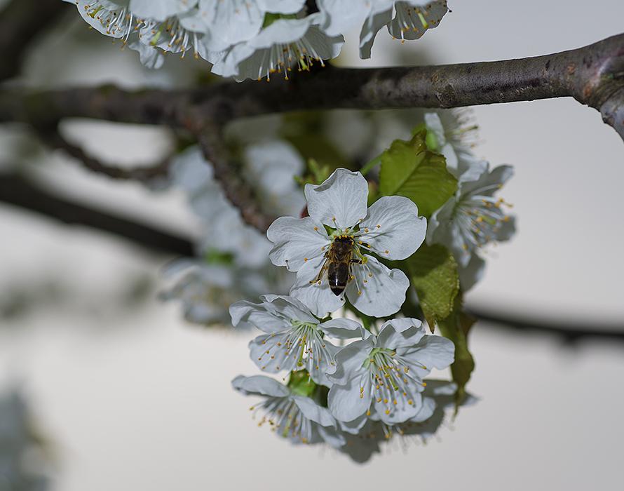 pčela i trešnja