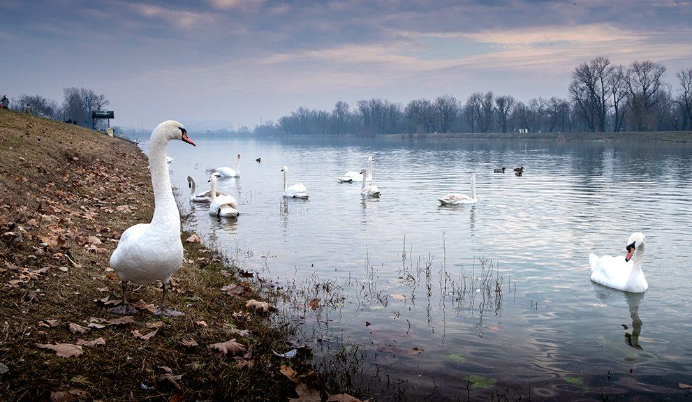 Swans on Lake Jarun